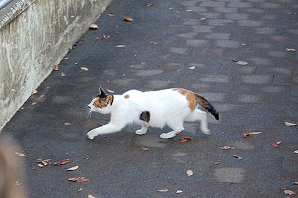 白地の多い三毛猫