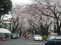 谷中霊園桜