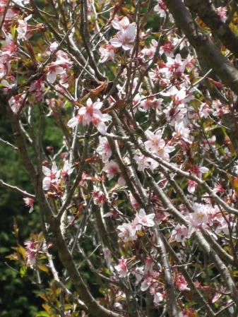 04桜の近く_convert_20110417224032
