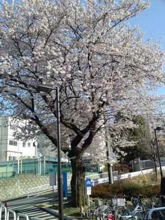 スーパーの桜