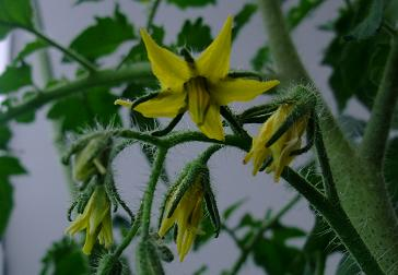 ニャゴス 第二花房 開花
