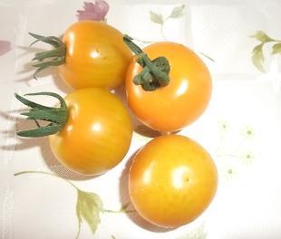 イエローオーレ 初収穫