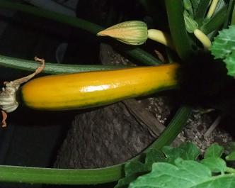 オーラム収穫0706
