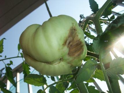 脇芽 黒トマト 実1