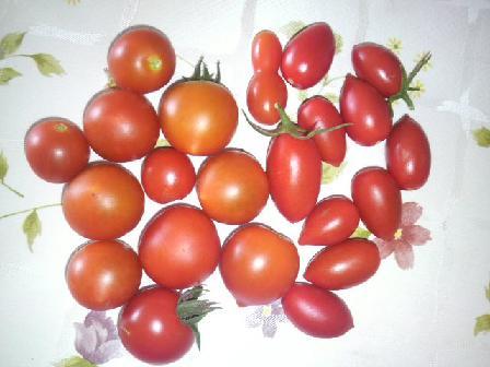 ミニトマト収穫0812