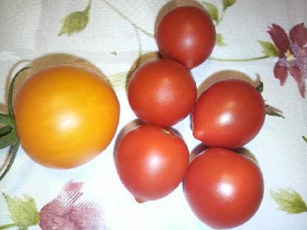 ミニトマト収穫0825