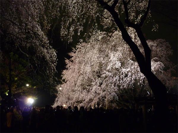 枝垂桜01