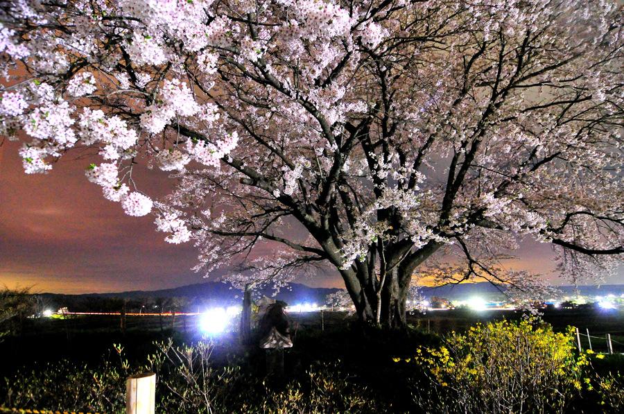 為内の桜3