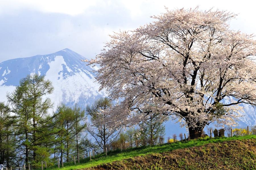 為内の桜2