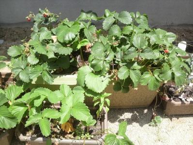 2010イチゴ家庭菜園 (5)