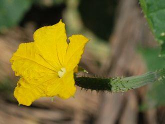 キュウリの黄色い花