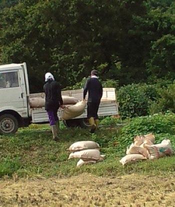 稲刈り積み込む
