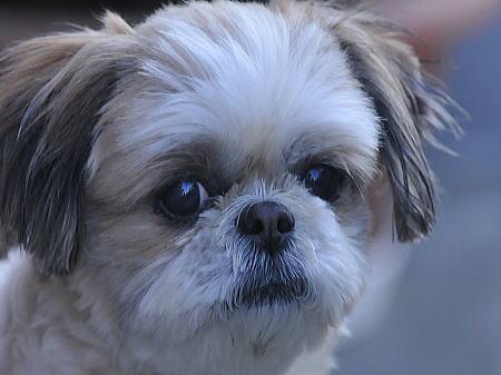 愛犬チャコ