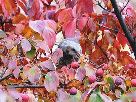 秋のヒヨドリ2