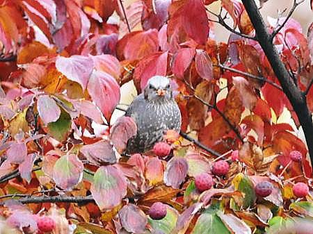 秋のヒヨドリ3