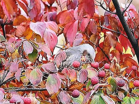 秋のヒヨドリ4