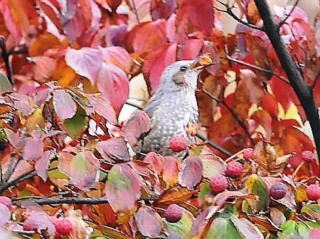 秋のヒヨドリ5