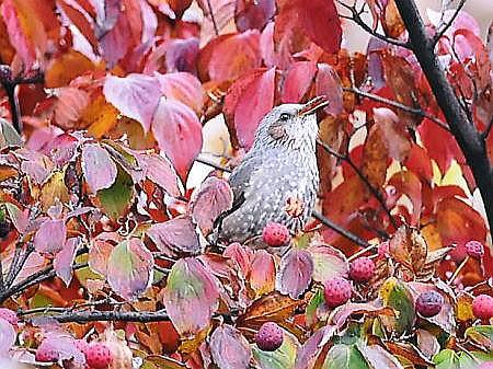 秋のヒヨドリ6
