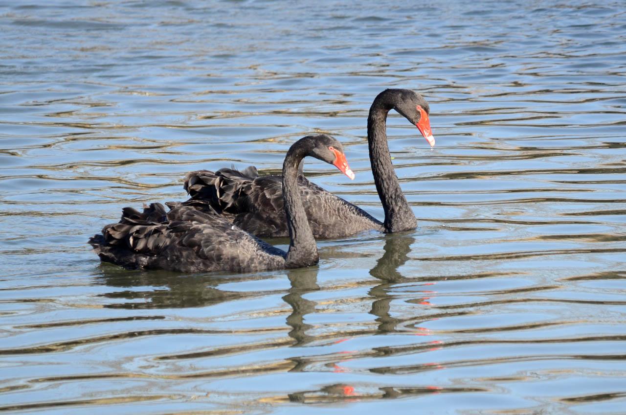 0326千波湖の黒鳥5