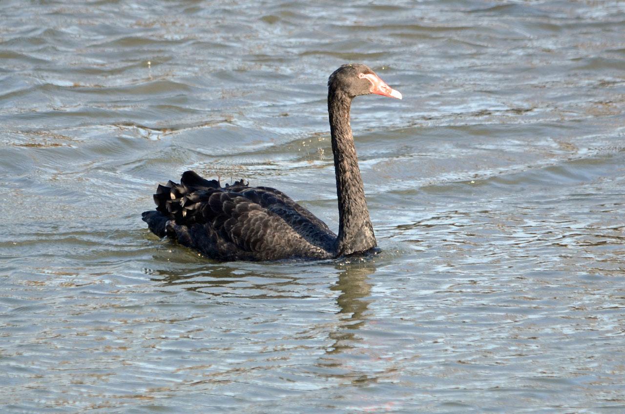 0326千波湖の黒鳥2