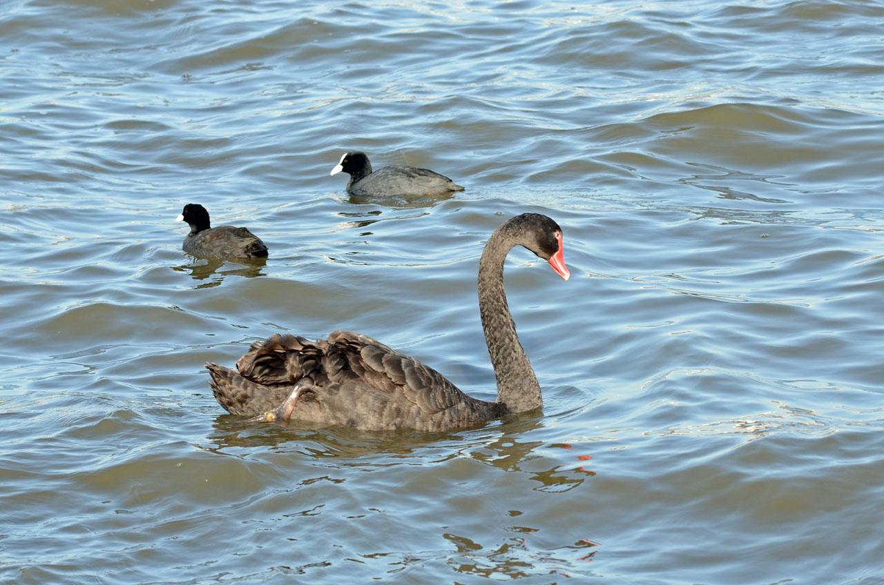 0326千波湖の黒鳥1
