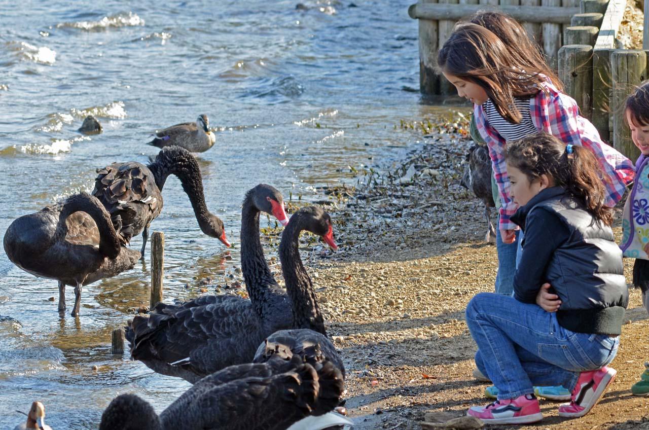 0326千波湖の黒鳥4