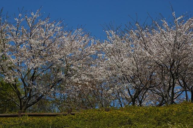 青空と桜の景色がいいな~