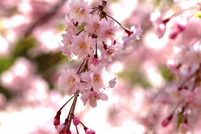 華やかな枝垂桜