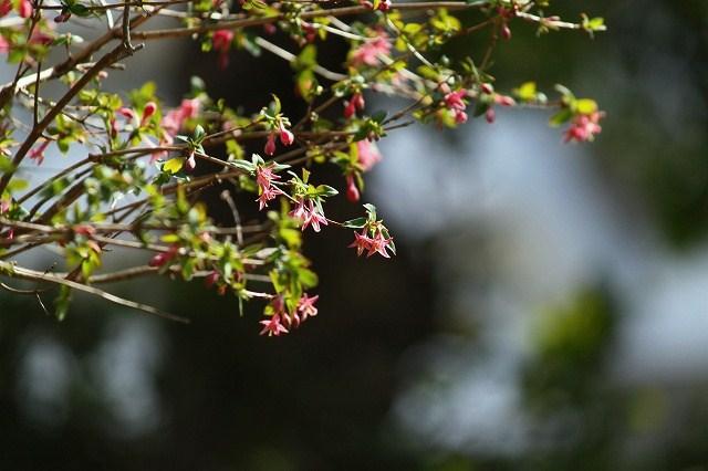 ウグイスカグラの花が可愛い♪