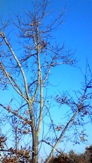 12月8日 うぐいすの木
