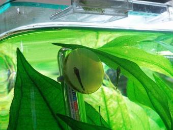 ミニブシ稚魚07