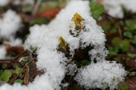 福寿草と雪