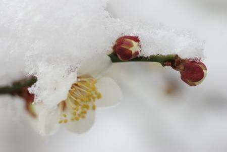 梅の花と雪2