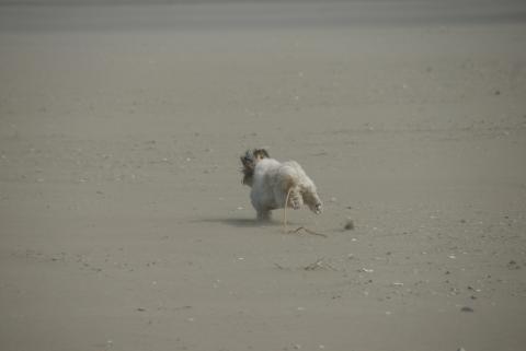 砂浜を走る獅子丸