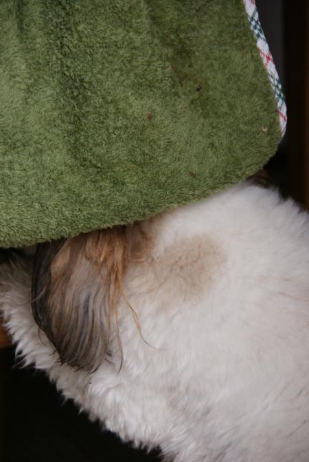 タオルで顔を拭く獅子丸1