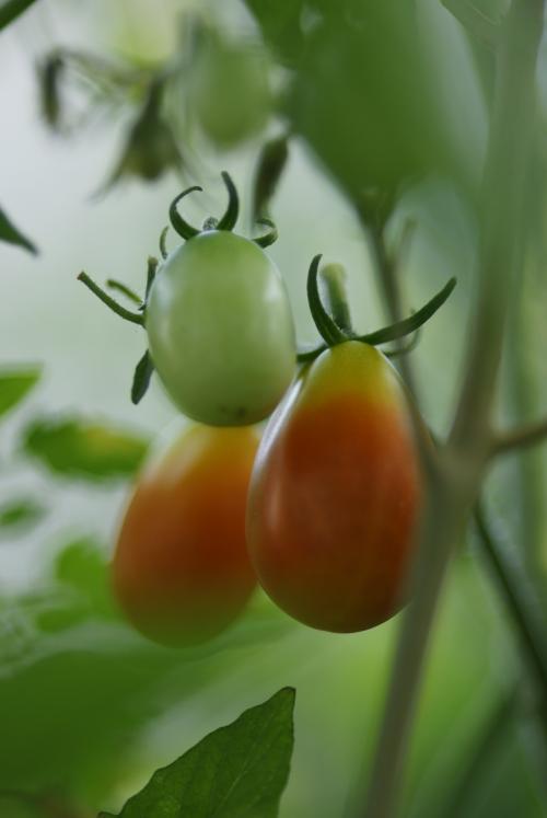 ミニトマト色変化