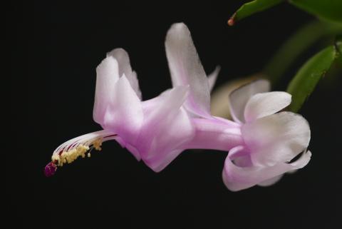 シャコバサボテン1