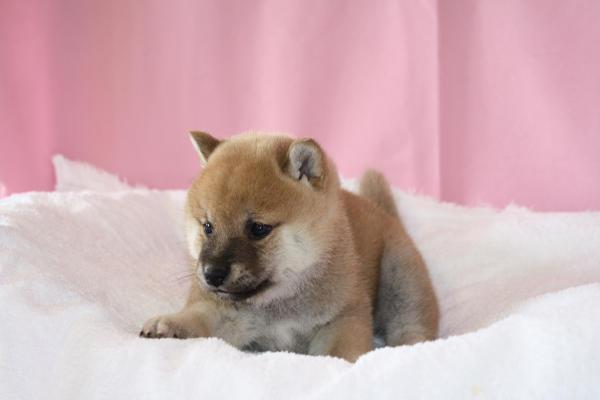 氷見の柴犬