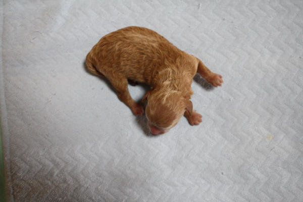 生後12時間後のトイプードルの赤ちゃん