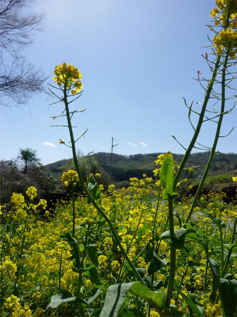 別府の菜の花