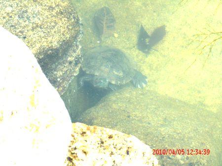 冬眠していたミドリガメ