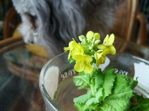白菜の花100212F710 056