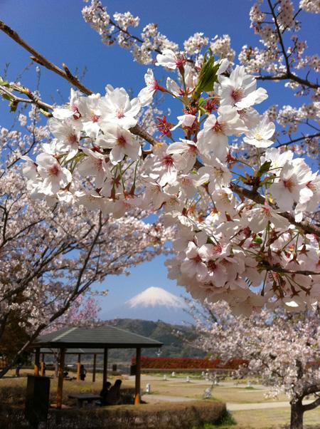 桜 2011.4.13