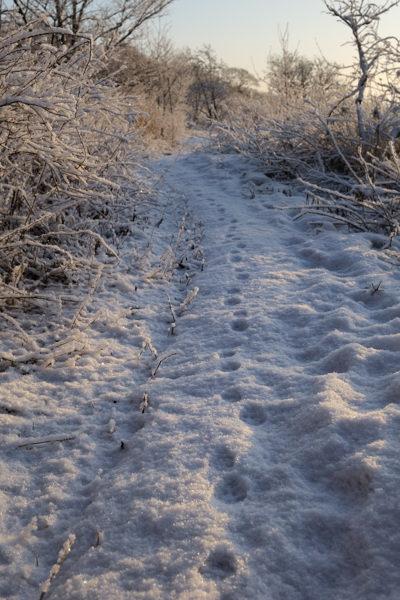 夜明けの小道、狐の足跡