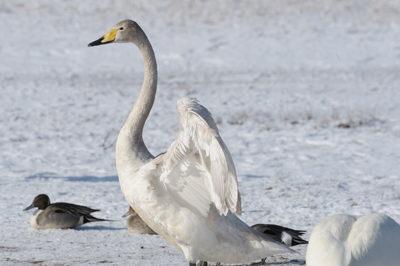 頭部が灰色、まだ若い白鳥です