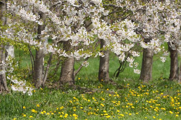 土日で北海道の桜の撮り収め。