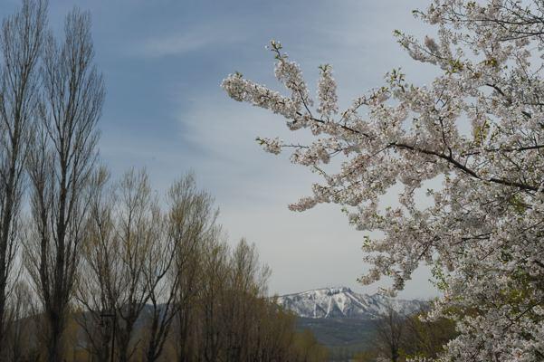 そろそろ桜も終わりかな
