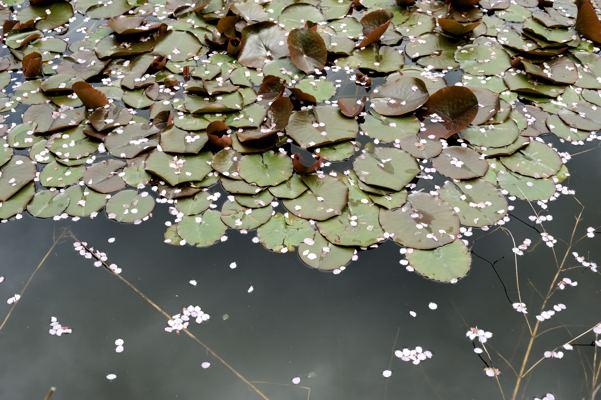 池には花びら