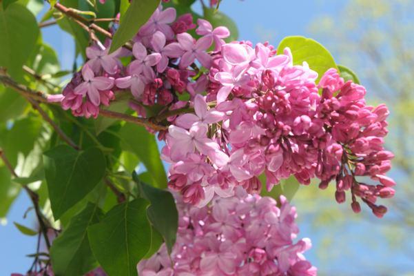 大通公園では、まだ咲き初めですね