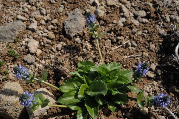 ホソバウルップソウ。ちょっと時期が早かったのでやっぱり花が小さい